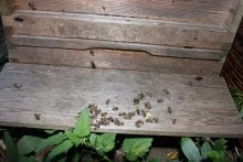 Dead bees on the landing board of a hive which had just been combined with another