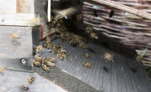 Guard bees fighting robber bees on the landing board