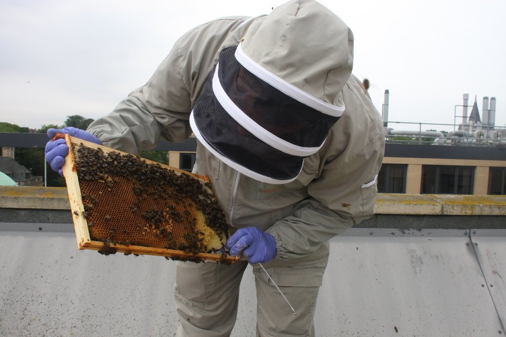 The Regional Bee Inspector looks at brood