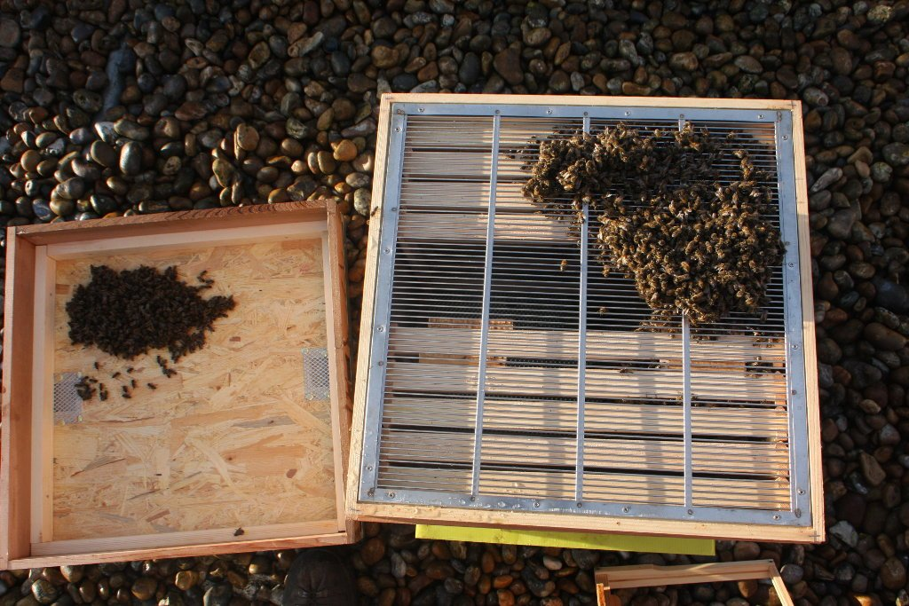 New caught swarm clustered in its' hive