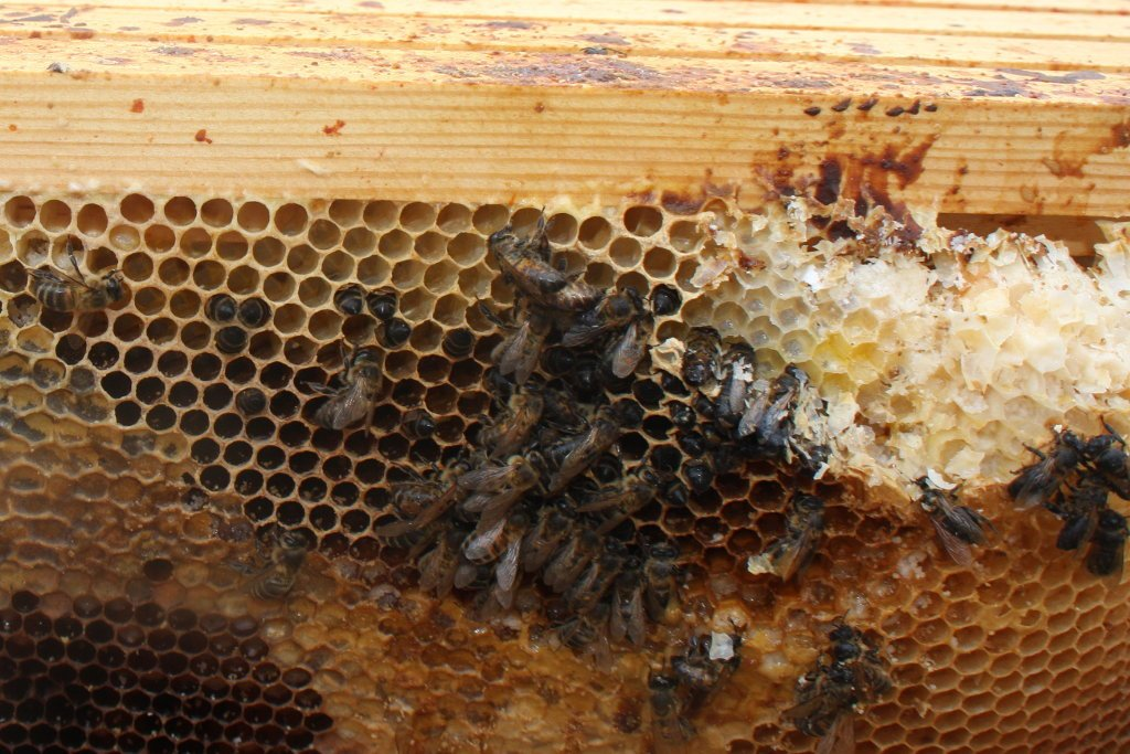 A honey bee colony which has suffered isolation starvation