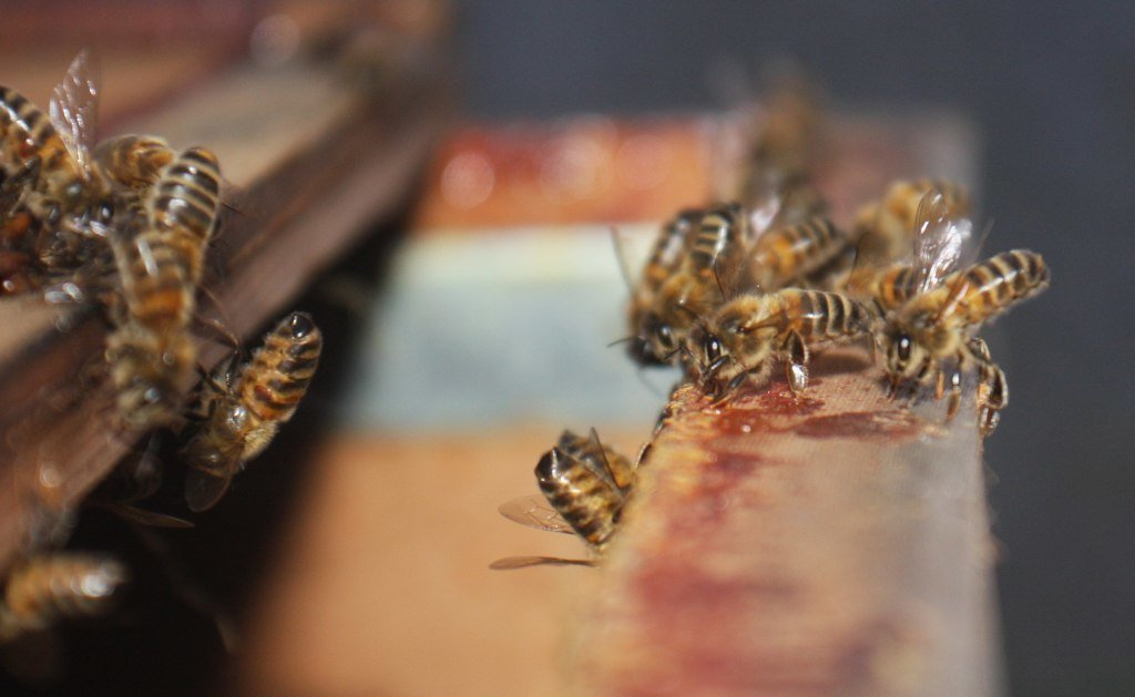 Bees fanning to indicate that the Queen is inside the hive